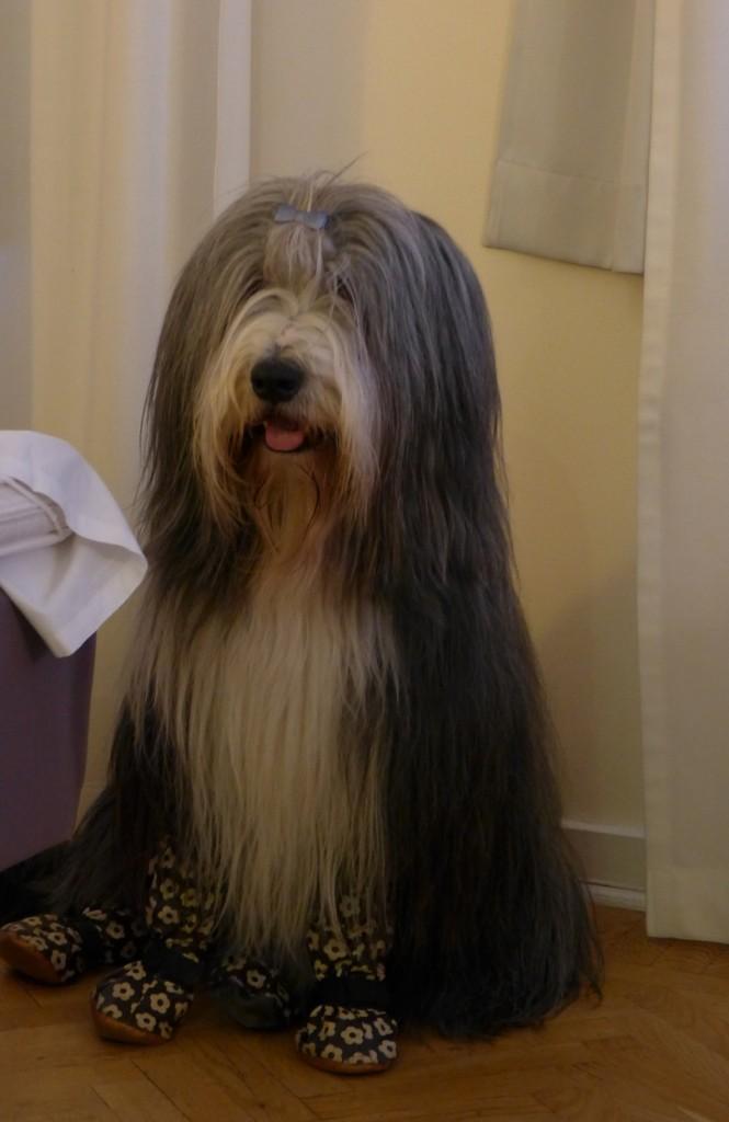 Barney (Ch Goonie's Informal Prince)